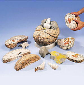 [3B] 14분리 대형 뇌모형 VH409 (Giant Brain,2.5 times full-size,14 part) 실물2.5배