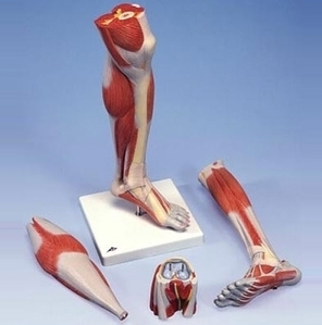 [3B] 3분리 다리근육모형 M22 (Deluxe Lower Muscle Leg with Knee,3-part)