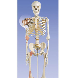 [3B] 4관절 인대부착 전신골격모형 A12 (170cm,Ligament skeleton leo,on 5-feet roller stand)