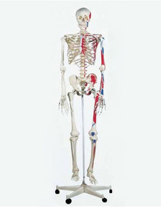 [3B] 전신골격모형 A11 (근종표시,170cm,Classic Skeleton Max,on 5-feet roller stand)