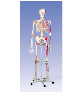 [3B] 전신 골격모형 A13 (고급형,근종표시,170cm,Super Skeleton Sam,on 5-feet roller stand)